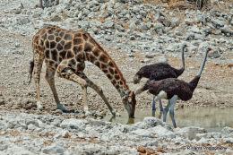 Giraff & Ostrich at water hole