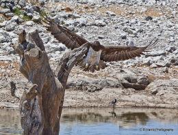 Marsal Eagle