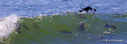 Sea Lions Surfing-Cape Cross