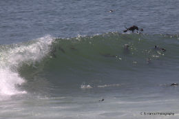 Sea Lions Surfing-Cape Cross 2