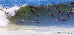 Sealions surfing Cape Cross