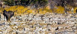 Namaqua sandgrouse 2