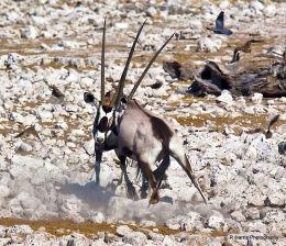 Gemsbok  or  Oryx  fighting