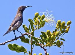 Fork - Tailed  Sunbird