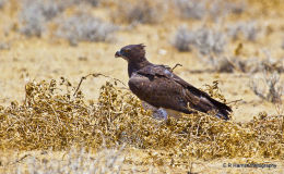 Marshal Eagle on kill