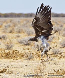 Marshal Eagle with kill