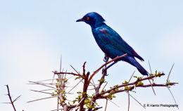 Burchell,s starling