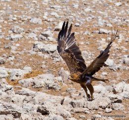Tawny Eagle 1