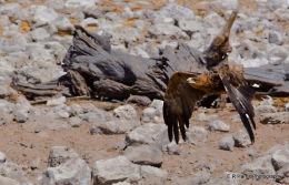 Tawny Eagle 4
