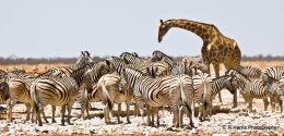 Zebra & Giraff