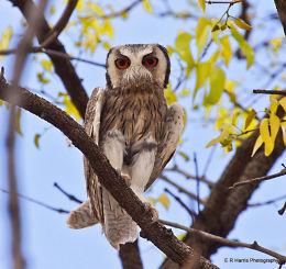 White - Faced  Scops  Owl