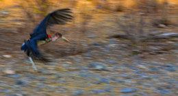 Malibu Stork