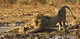 Lion,s