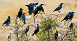 Splendid Starlings