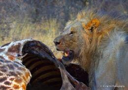 Lion on kill ,namibia