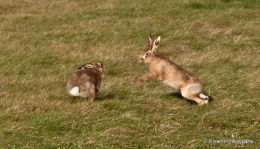 Hare,s Pairing up