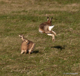 Brown Hare,s Boxing