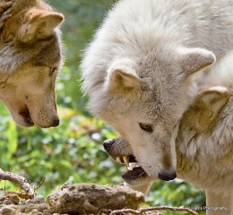 Timber Wolves
