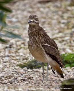 Stone - Curlew