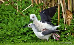 Black-necked Stilt Mateing