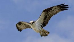 Young Osprey Fla.