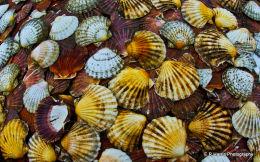 Scollop Shells