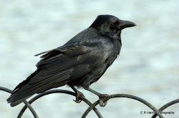 The Crow London
