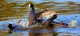 Coot,s Fighting