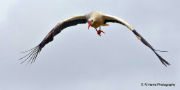European Stork