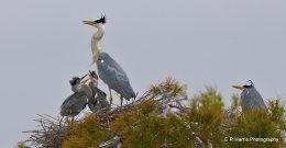 Grey Heron,s Nesting