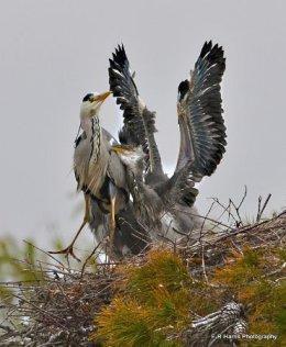 Grey Heron  -  thanks mum!