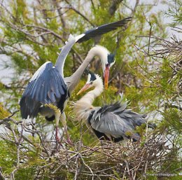 Grey Heron feeding young