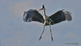 Grey Heron coming in to land