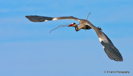 Grey Heron with nesting materials