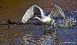 Swan no1