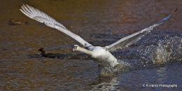 Swan  no3