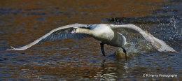 Swan no2