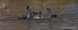 Coots fighting for dominance