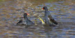 Coots fighting for dominance no2
