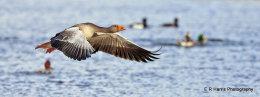 Greylag Goose no1