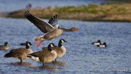Greylag Goose no2