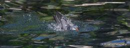 Inca Tern diving