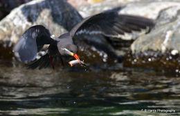 Inca Tern with fish