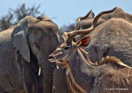 Namibia - Giant Kudu