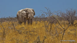 Namibia - African Elephant