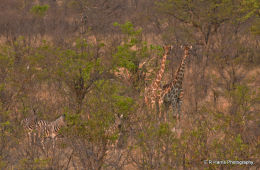 Namibia  Brush
