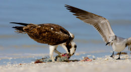 Osprey & gull sanibel