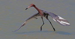 Redish Egret sanibel 1 (7)