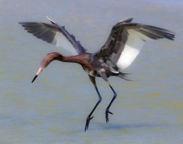 Redish Egret sanibel 2 (8)