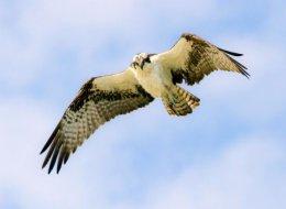 Osprey  Sanibel Fla.